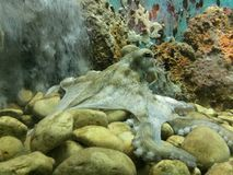 Octopus. In aquarium, surrounded by corals and stones, observing stock image