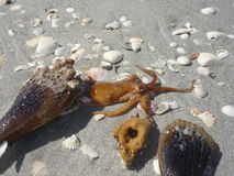 Octopus Beach. A tiny orange octopus is the center of this picture as it crawls across the sand and shells Stock Images