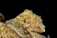Octopus bij nacht Royalty-vrije Stock Afbeelding
