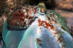 Octopus billowing. Common Octopus searching coralhead for snack Stock Images