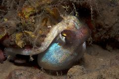 Octopus is camouflaged Stock Photography