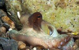 Octopus is camouflaged10. Octopus is camouflaged among the rocks Stock Image