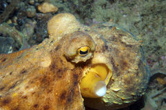 Octopus is camouflaged1 Stock Photography