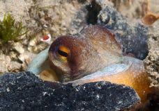 Octopus is camouflaged15. Octopus is camouflaged among the rocks Stock Photos