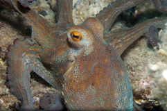 Octopus is camouflaged16. Octopus is camouflaged among the rocks Stock Images