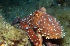 Octopus is camouflaged18. Octopus is camouflaged among the rocks Royalty Free Stock Photos