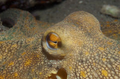 Octopus is camouflaged7 Royalty Free Stock Image