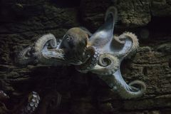 Octopus clinging to a piece of wood underwater