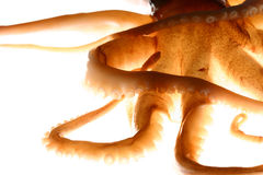 Octopus close-up Royalty Free Stock Image