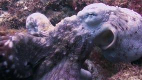Octopus Close Up.Colourful Dangerous Squid Marine Life.Aquatic Underwater Wildlife