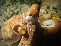 Octopus closeup view Royalty Free Stock Photo
