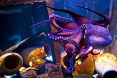Octopus. COPENHAGEN, DENMARK - JULY 1: Octopus in Blue Planet National Aquarium Denmark on July 1, 2014 in Copenhagen Royalty Free Stock Image