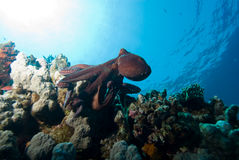 Octopus and Coral Reef Royalty Free Stock Image