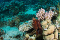 Octopus in coral reef. Octopus is playful and hanging around hard corals stock photo