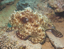 Octopus on a coral reef Royalty Free Stock Photography