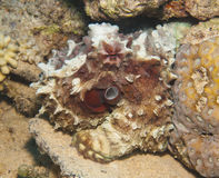 Octopus on a coral reef Stock Photos