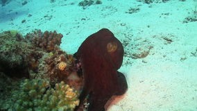 Octopus on Coral Reef stock video