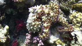 Octopus on Coral Reef Stock Photos