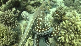 Octopus on Coral Reef stock footage