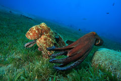 Octopus courtship and mating Stock Photos