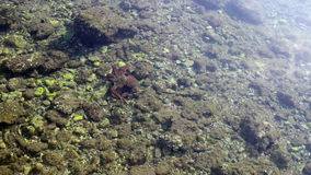 Octopus crawling on the sea bed stock footage