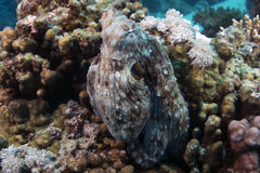 Octopus cyanea (Reef octopus) in the Red Sea. Royalty Free Stock Photography