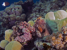 Octopus cyanea. (Reef octopus) in the Red Sea Royalty Free Stock Images