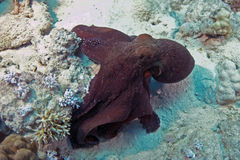 Octopus cyanea. (Reef octopus) in the Red Sea Royalty Free Stock Photography