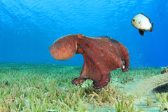 Octopus and Damselfish Royalty Free Stock Image