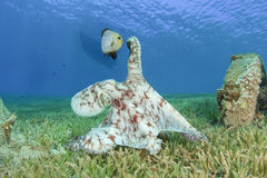 Octopus and Damselfish Royalty Free Stock Photo
