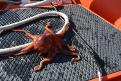 Octopus on deck of boat. A Pacific octopus on the deck of a boat stock image
