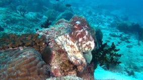 Octopus devilfish poulpe op achtergrond van duidelijke zeebedding onderwater van de Maldiven stock footage