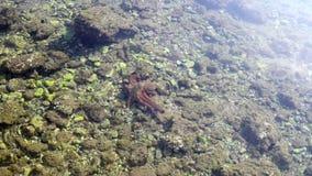 Octopus die op de zeebedding kruipen stock footage