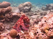 Octopus. Diving in underwater coral reef world royalty free stock images