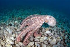Octopus Dofleini in tweekleppig kerkhof Stock Afbeeldingen