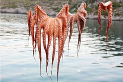 Octopus Drying on the String Royalty Free Stock Photos