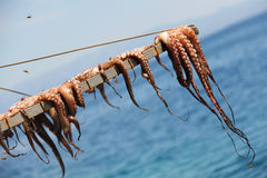 Octopus drying at the sun  in Chios Island. Royalty Free Stock Image