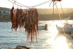 Octopus drying in the sun Stock Images
