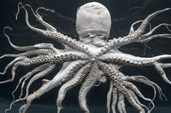 Octopus. Exponate of octopus for scientific research on black background Stock Photos