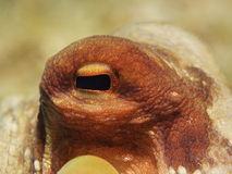Octopus Eye Royalty Free Stock Photography