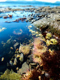 The Octopus' Garden. Tidepool life on Pender Island. Anemones, mussels, seaweed, barnacles, snails, and hermit crabs coexisting in autumn sunshine Royalty Free Stock Photo