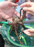 Octopus in hand Stock Photos