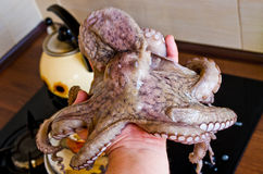 Octopus in hand before cooking Stock Image