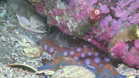 Octopus hiding in its hole under a rock at bottom. Octopus hiding in its hole under a rock at the bottom. Amazing underwater world and the inhabitants, fish stock footage