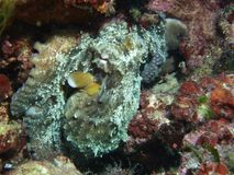 Octopus hiding between stones stock image