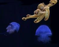 Octopus Jellyfish. Octopus cyanea swimming amongst jellyfish in Hawai& x27;i royalty free stock photography