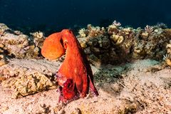 Octopus king of camouflage in the Red Sea stock photo