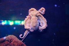 Octopus Royalty Free Stock Photography