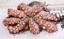 Octopus. Large octopus on the ice Stock Images