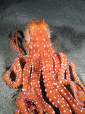 Octopus Macropus Stock Image